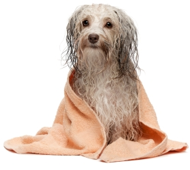 Wet dog with towel